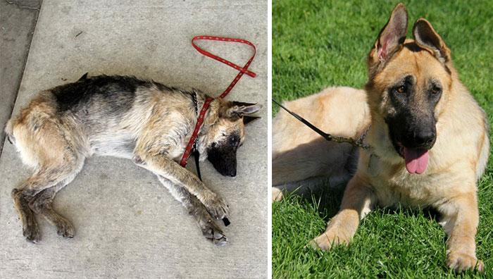 Cães resgatados antes e depois (16)