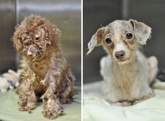 Cães resgatados antes e depois (6)