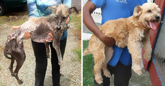 Cães resgatados antes e depois (7)