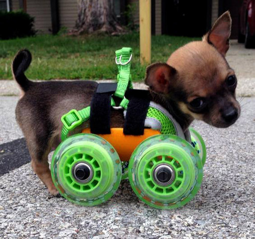 Chihuahua sem as patinhas ganha carrinho e volta a andar
