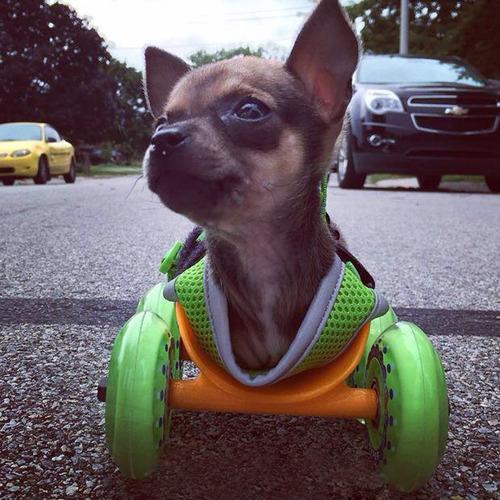 Chihuahua-sem-as-patinhas-ganha-carrinho-e-volta-a-andar-Blog Animal (2)