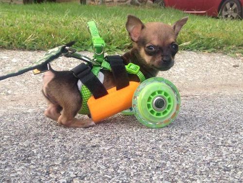 Chihuahua-sem-as-patinhas-ganha-carrinho-e-volta-a-andar-Blog Animal (4)