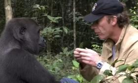 Emocionante reencontro entre um gorila e o homem que o criou, 5 anos depois de o ter libertado na selva