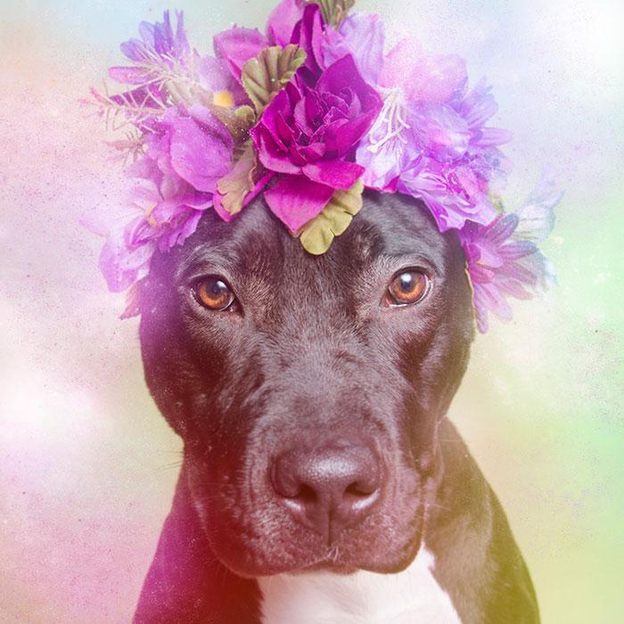 Fotos de pitbulls com coroas de flores para mostrar seu lado suave e estimular a adoção (1)