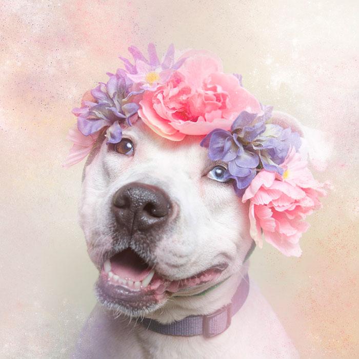 Fotos de pitbulls com coroas de flores para mostrar seu lado suave e estimular a adoção (10)
