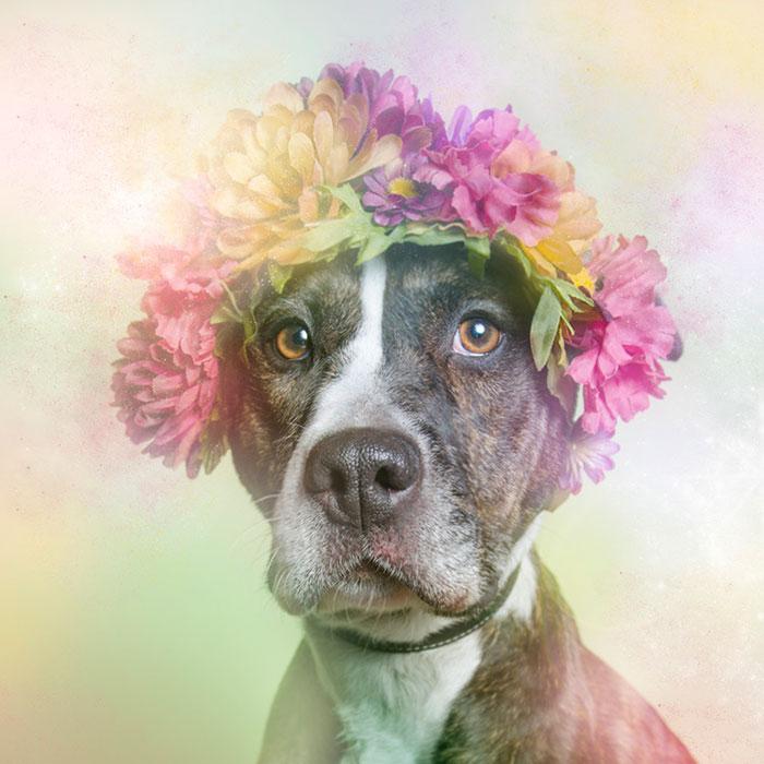 Fotos de pitbulls com coroas de flores para mostrar seu lado suave e estimular a adoção (11)