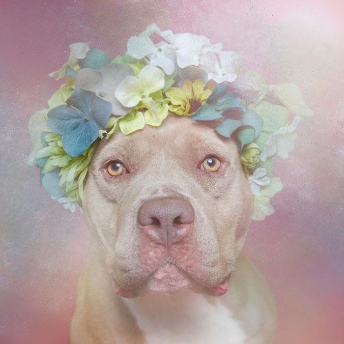 Fotos de pitbulls com coroas de flores para mostrar seu lado suave e estimular a adoção (2)
