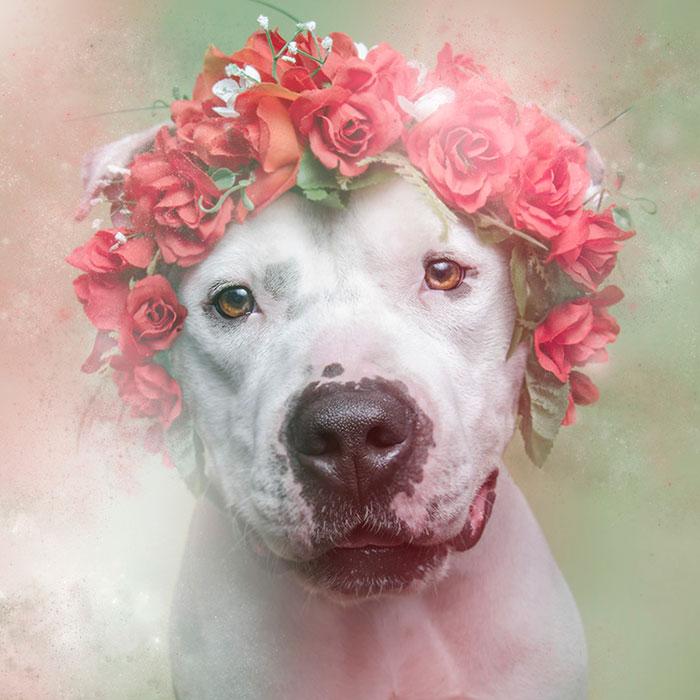 Fotos de pitbulls com coroas de flores para mostrar seu lado suave e estimular a adoção (3)