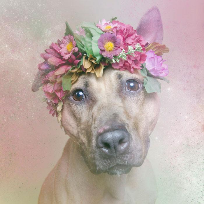 Fotos de pitbulls com coroas de flores para mostrar seu lado suave e estimular a adoção (4)