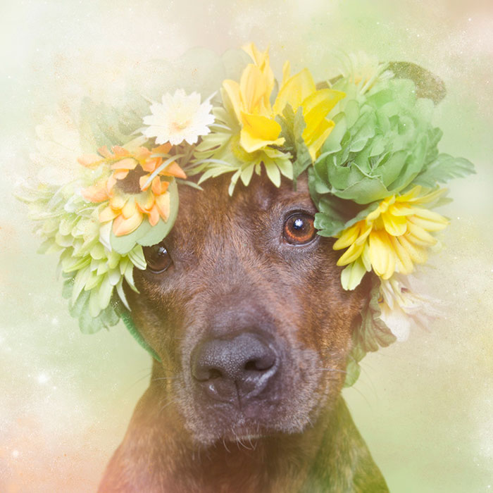 Fotos de pitbulls com coroas de flores para mostrar seu lado suave e estimular a adoção (5)
