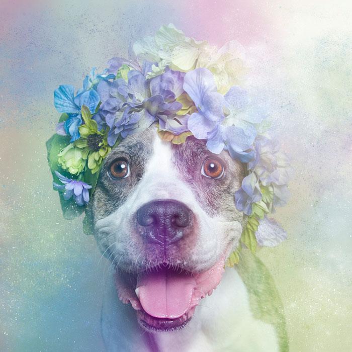 Fotos de pitbulls com coroas de flores para mostrar seu lado suave e estimular a adoção (6)