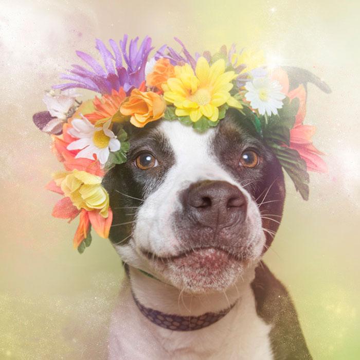 Fotos de pitbulls com coroas de flores para mostrar seu lado suave e estimular a adoção (7)