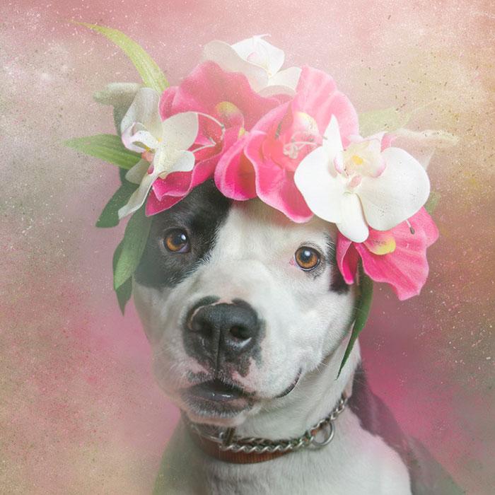 Fotos de pitbulls com coroas de flores para mostrar seu lado suave e estimular a adoção (8)