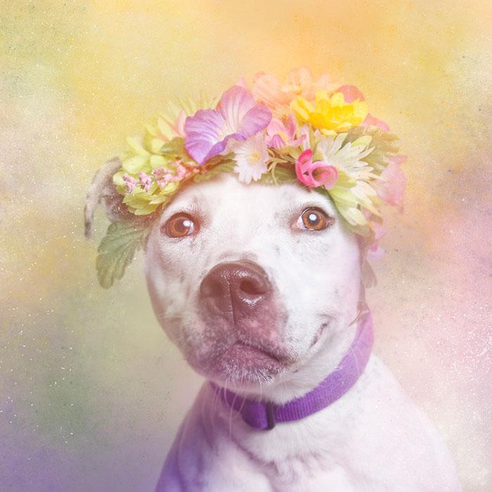 Fotos de pitbulls com coroas de flores para mostrar seu lado suave e estimular a adoção (9)
