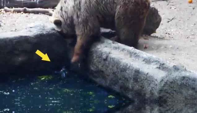 Urso salva um corvo do afogamento