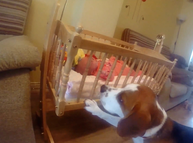 Charlie, o beagle, é a melhor babá do mundo