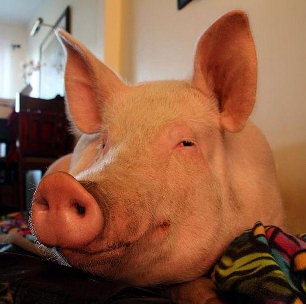 Como-é-ter-um-porco-como-animal-de-estimação-Blog-Animal (10)