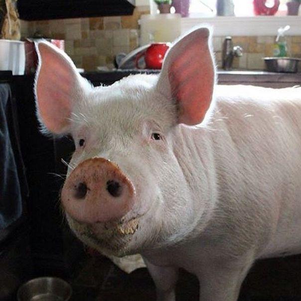 Como-é-ter-um-porco-como-animal-de-estimação-Blog-Animal (12)