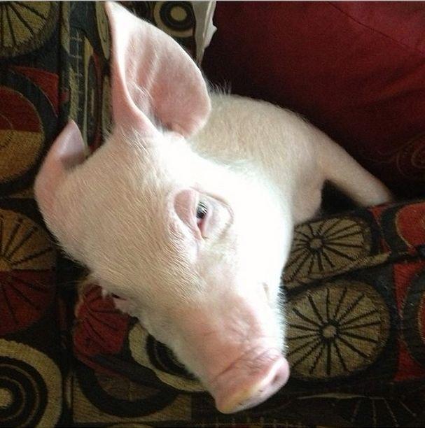Como-é-ter-um-porco-como-animal-de-estimação-Blog-Animal (16)
