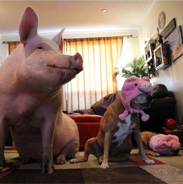 Como-é-ter-um-porco-como-animal-de-estimação-Blog-Animal (17)