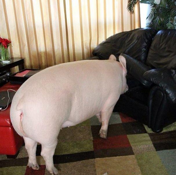 Como-é-ter-um-porco-como-animal-de-estimação-Blog-Animal (18)