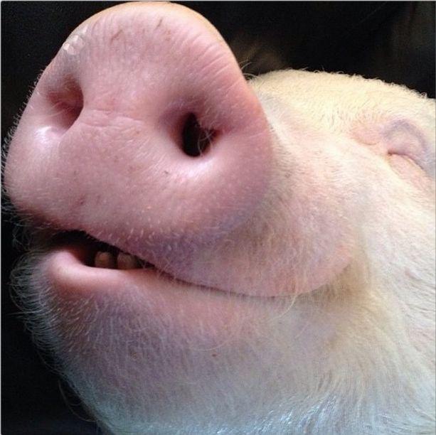 Como-é-ter-um-porco-como-animal-de-estimação-Blog-Animal (19)