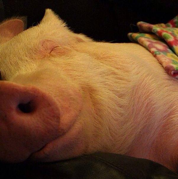 Como-é-ter-um-porco-como-animal-de-estimação-Blog-Animal (2)