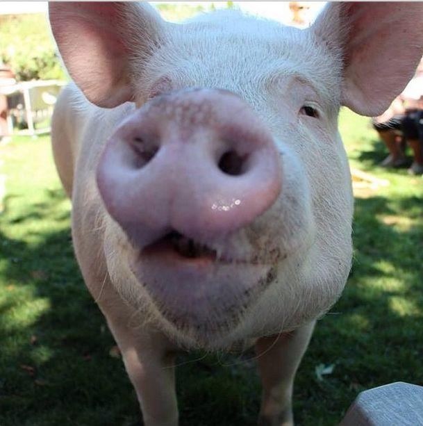 Como-é-ter-um-porco-como-animal-de-estimação-Blog-Animal (22)