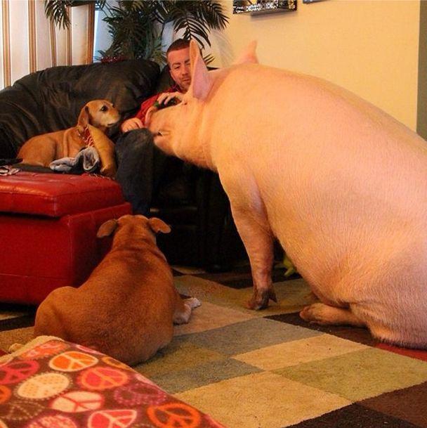 Como-é-ter-um-porco-como-animal-de-estimação-Blog-Animal (24)
