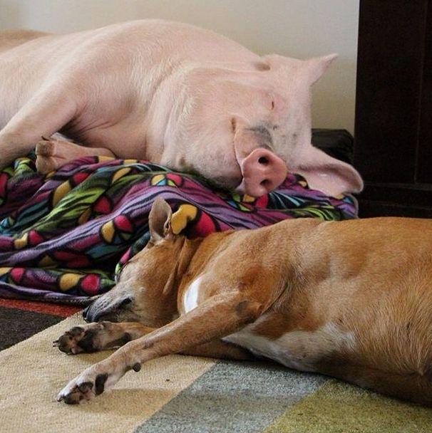 Como-é-ter-um-porco-como-animal-de-estimação-Blog-Animal (26)