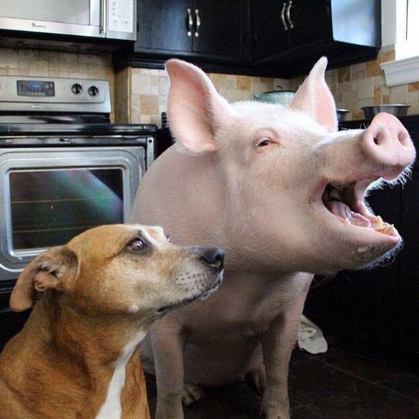 Como-é-ter-um-porco-como-animal-de-estimação-Blog-Animal (27)