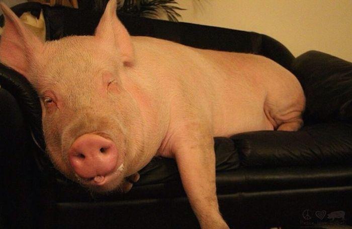 Como-é-ter-um-porco-como-animal-de-estimação-Blog-Animal (3)