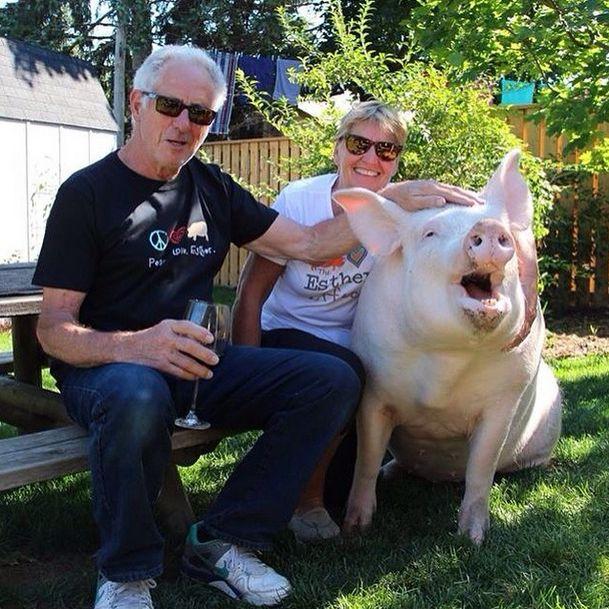 Como-é-ter-um-porco-como-animal-de-estimação-Blog-Animal (31)
