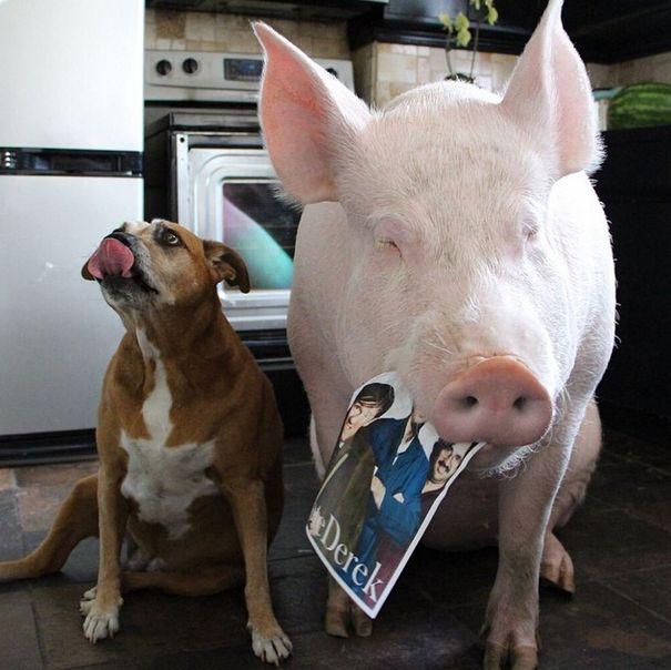 Como-é-ter-um-porco-como-animal-de-estimação-Blog-Animal (33)