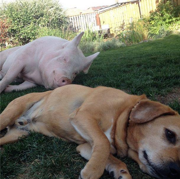 Como-é-ter-um-porco-como-animal-de-estimação-Blog-Animal (34)