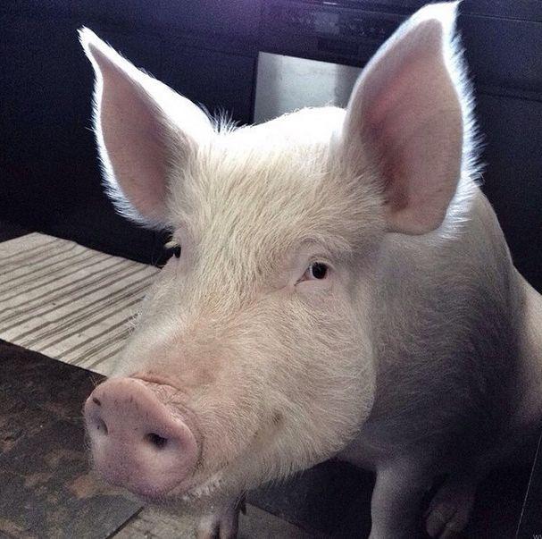 Como-é-ter-um-porco-como-animal-de-estimação-Blog-Animal (35)