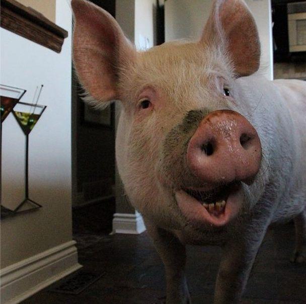 Como-é-ter-um-porco-como-animal-de-estimação-Blog-Animal (36)