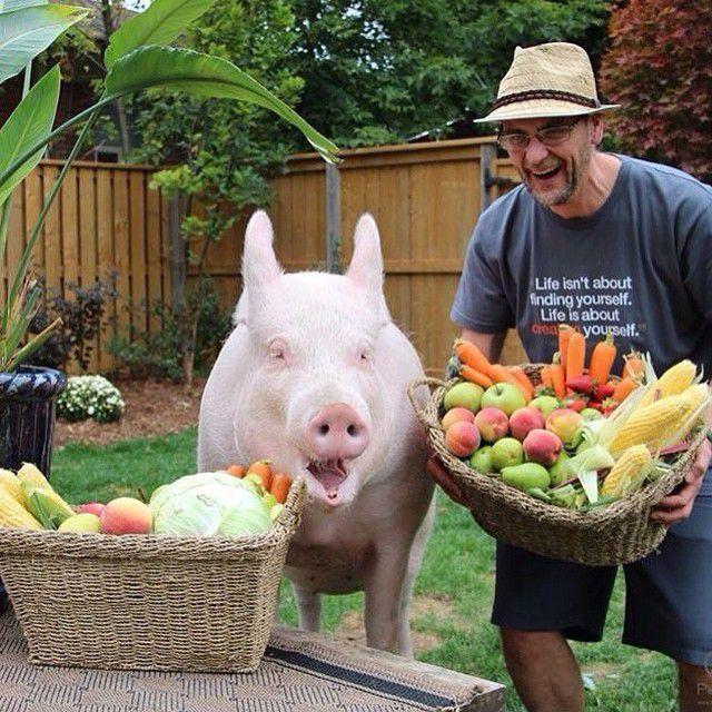 Como-é-ter-um-porco-como-animal-de-estimação-Blog-Animal (37)