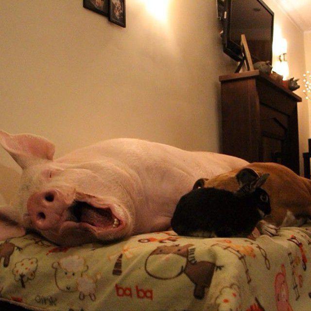 Como-é-ter-um-porco-como-animal-de-estimação-Blog-Animal (38)