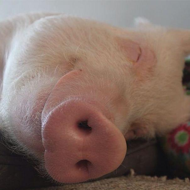 Como-é-ter-um-porco-como-animal-de-estimação-Blog-Animal (5)