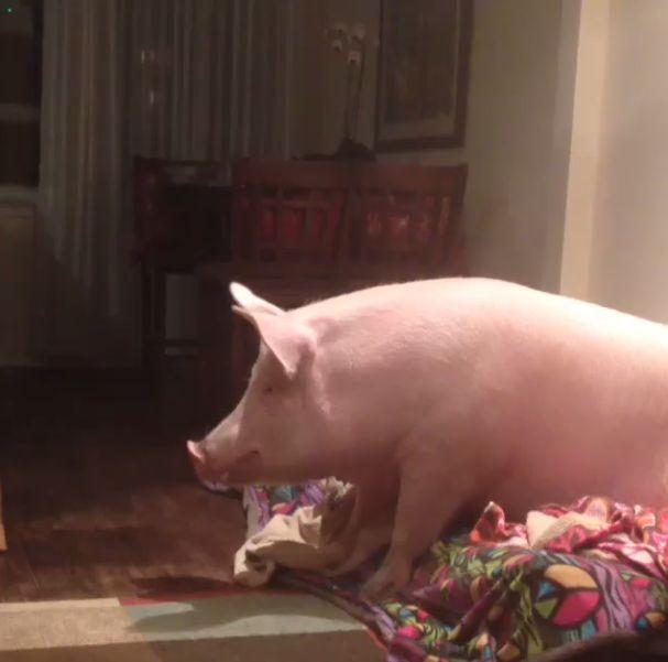 Como-é-ter-um-porco-como-animal-de-estimação-Blog-Animal (6)