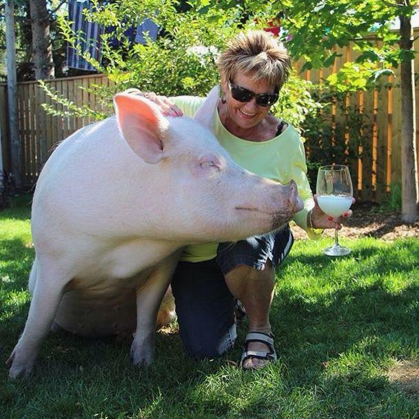 Como-é-ter-um-porco-como-animal-de-estimação-Blog-Animal (8)