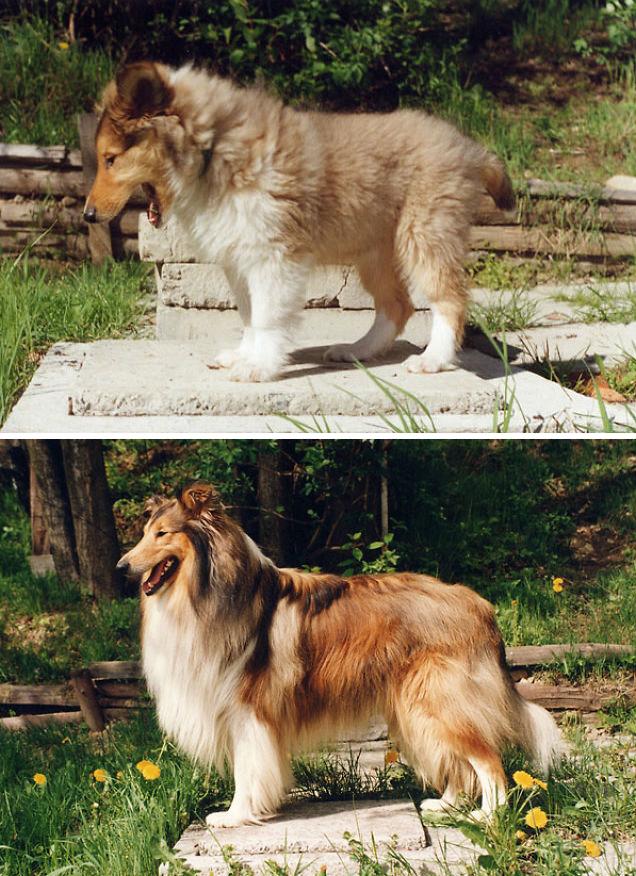Fotos antes e depois de cães (3)