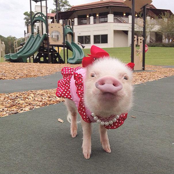 Priscilla, a porquinha mais bela do Instagram (1)