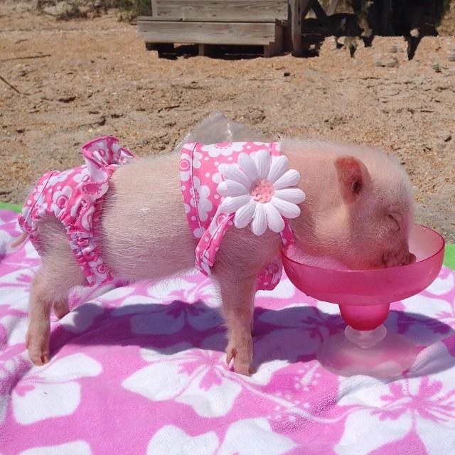 Priscilla, a porquinha mais bela do Instagram (11)