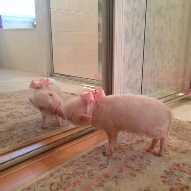 Priscilla, a porquinha mais bela do Instagram (12)