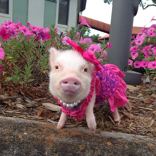 Priscilla, a porquinha mais bela do Instagram (13)