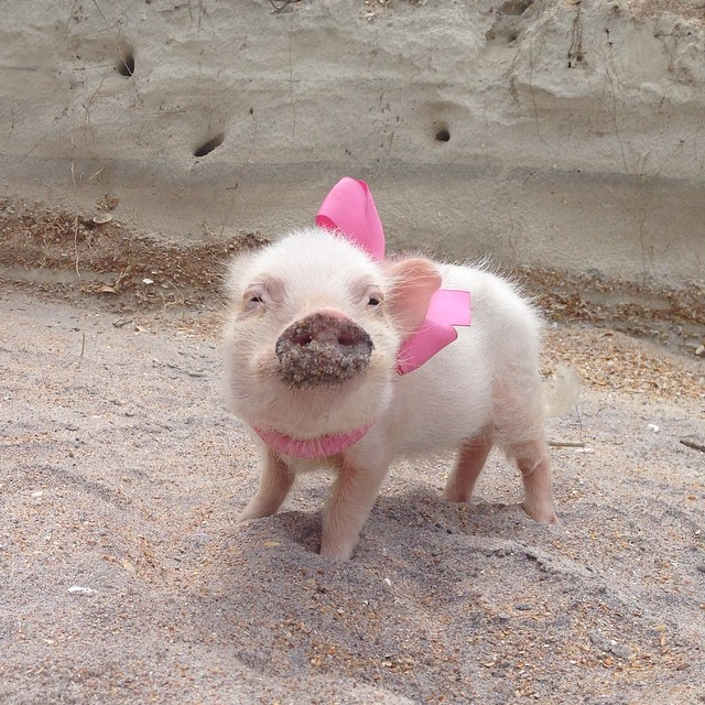 Priscilla, a porquinha mais bela do Instagram (19)