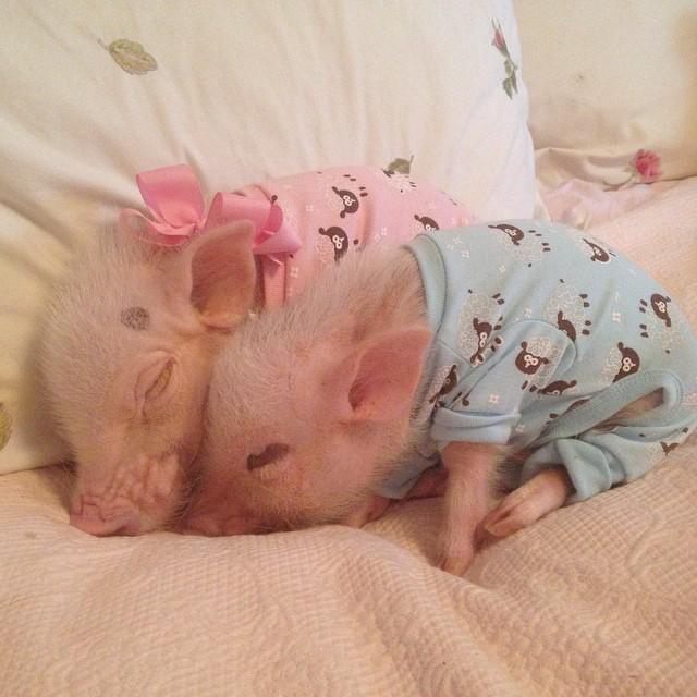 Priscilla, a porquinha mais bela do Instagram (2)