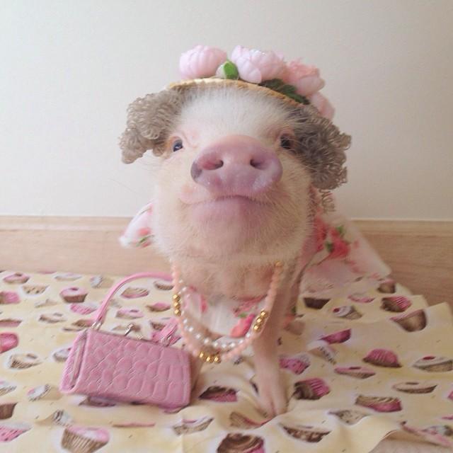 Priscilla, a porquinha mais bela do Instagram (6)